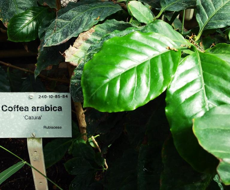arabica kaffeepflanze